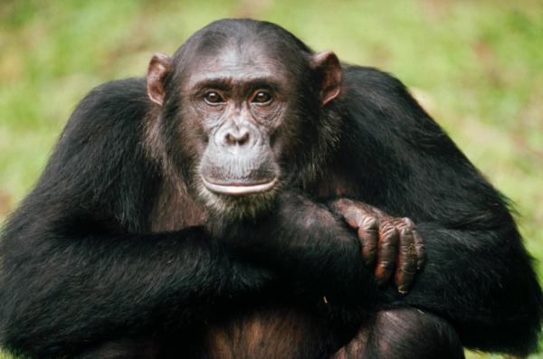 Ученые: ВИЧ способен передаваться от обезьяны к человеку и обратно