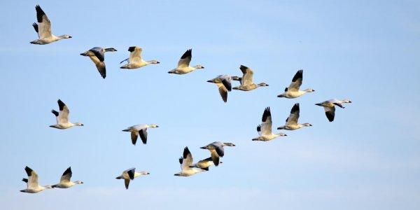 Ученые: У мигрирующих птиц более короткие теломеры нежели у оседлых