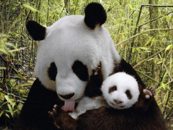 За два дня в Китае родились две пары панд