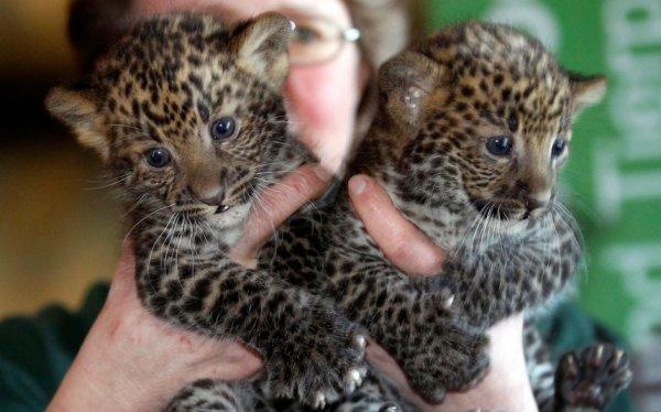В Великобритании родились два дальневосточных леопарда