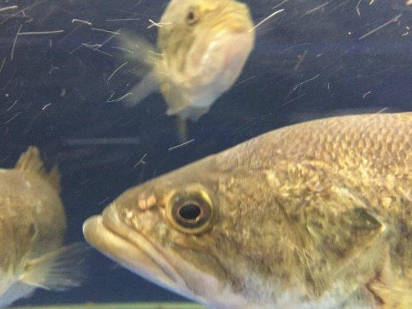 Ученые открыли вид нового вируса в ходе изучения вымирания рыбы в США