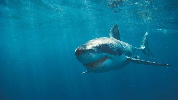 Ученые: Кровь акул поможет победить рак