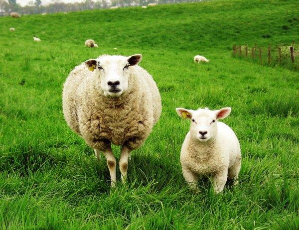 Медикам в Самаре требуется разработчик искусственного клапана сердца на основе тканей овцы