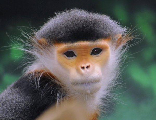 Ученые обнаружили во Вьетнаме приматов, находящихся на грани вымирания