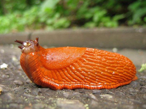 Ученые обнаружили подвид слизней, способных пожирать живых птенцов