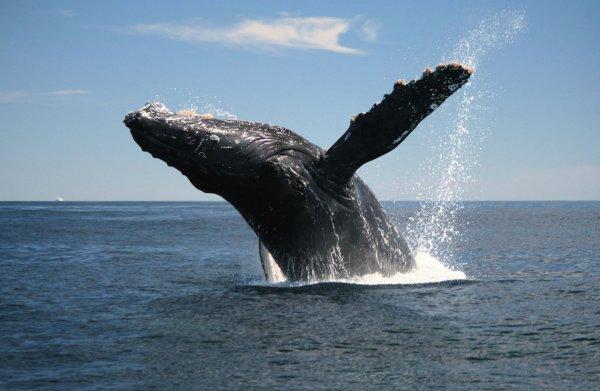 У берегов Гавайских островов был замечен горбатый кит с неизвестным заболеванием