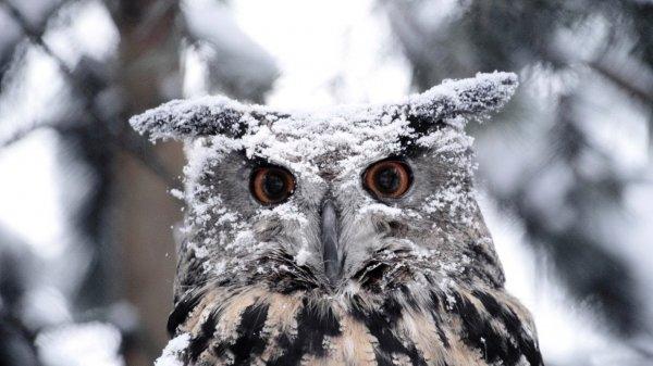 Ученые уточнили поведение снежных сов в зимний период в Саскачеване