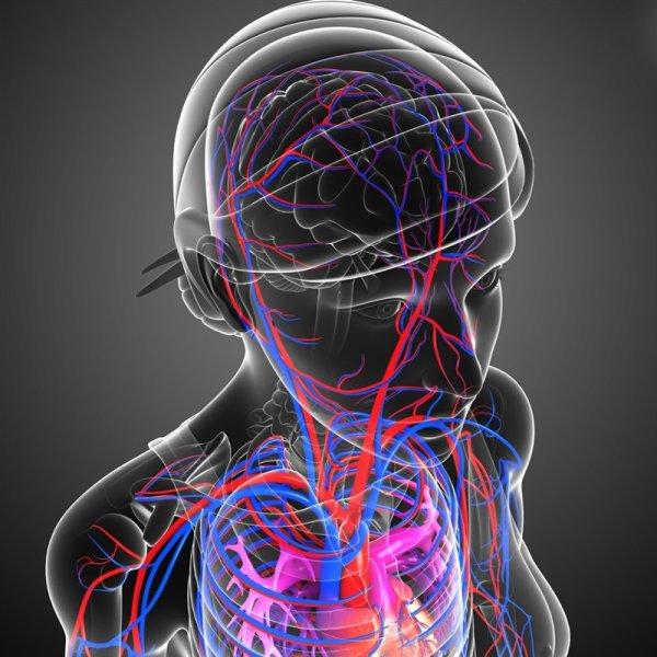 Ученые: Человек стал умнее из-за увеличения притока крови к головному мозгу