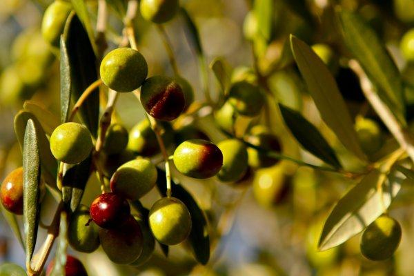 Ученые рассказали, почему необходимо включать оливки в свой рацион