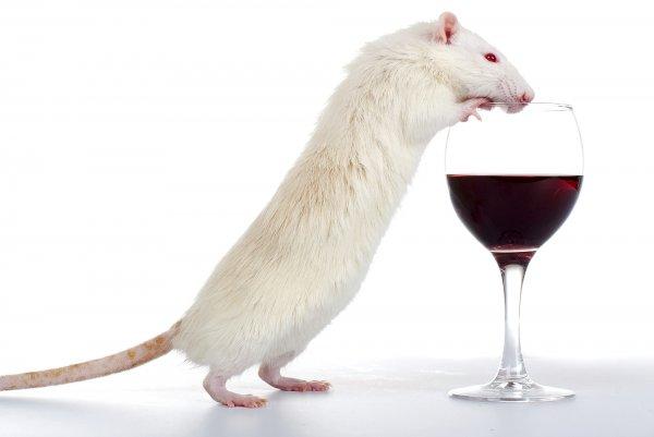 Ученые нашли способ бороться с алкогольной зависимостью у крыс