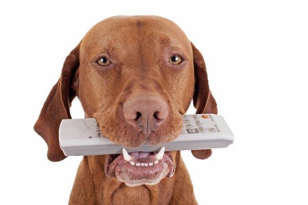 Ученые выявили причину интереса собак к просмотру телевизора