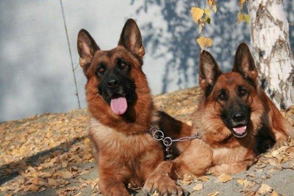 В России собаки научились распознавать рак