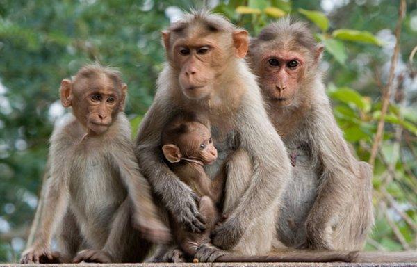 Учёные впервые заразили беременных обезьян вирусом Зика