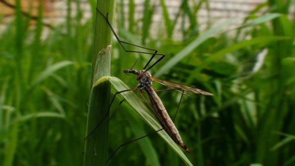 Комары-пискуны не являются переносчиками вируса Зика