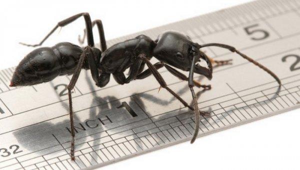 Ученые нашли ранее неведомый вид муравьев в желудке лягушки