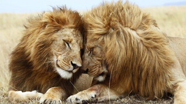 В зоопарке Ботсваны львицы превратились в самцов