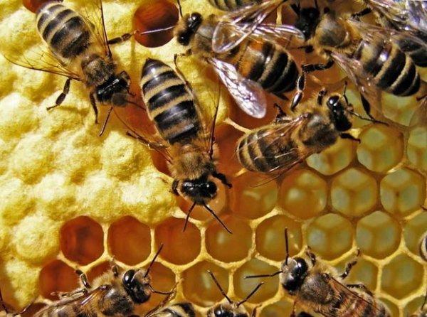 Ученые: Пчелы могут испытывать радость