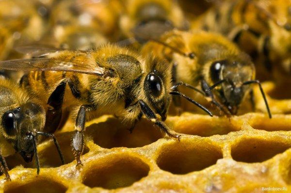 Ученые выяснили причину массового вымирания пчел