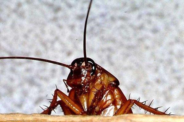 Ученые: Тараканы приносят людям огромную пользу