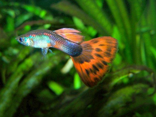 Ученые: Рыбки гуппи наносят вред экосистеме