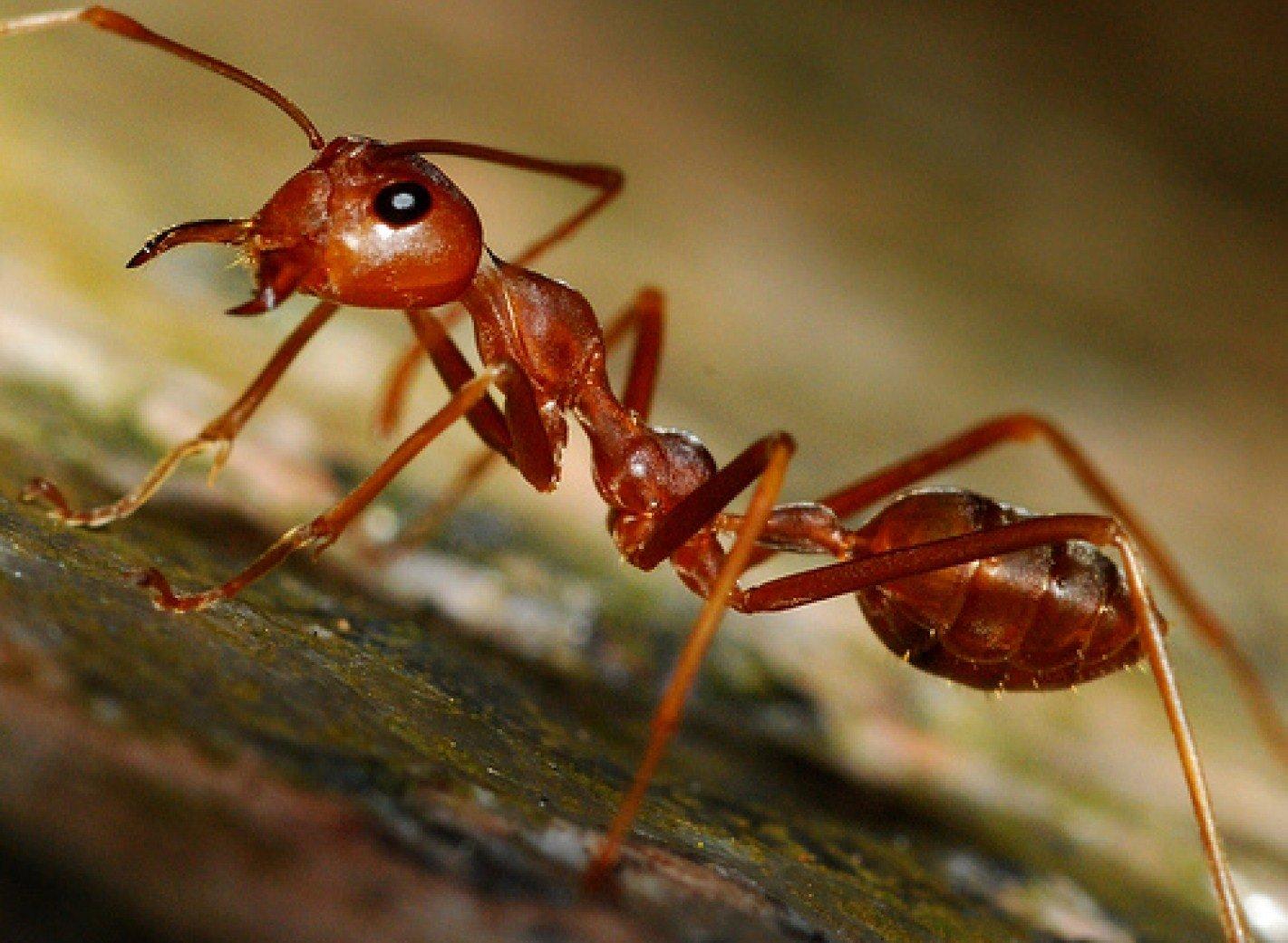сухость все муравьи мелкие а один огромный уто это