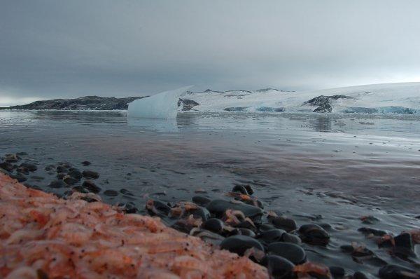 Ученные рассказали, как формируется раковина у моллюсков Антарктики