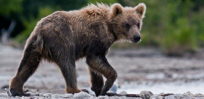 На Алтае ученые заметили редкий вымирающий вид медведя
