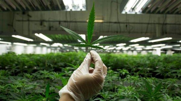 Ученые: Курение марихуаны приводит к снижению интеллекта