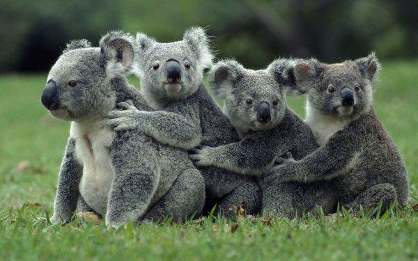 Перевод часов на летнее время спасет коал от вымирания