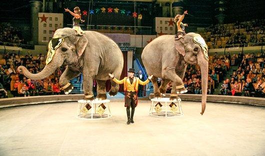 Слонов в цирке на Цветном бульваре в Новый год будут поить шампанским