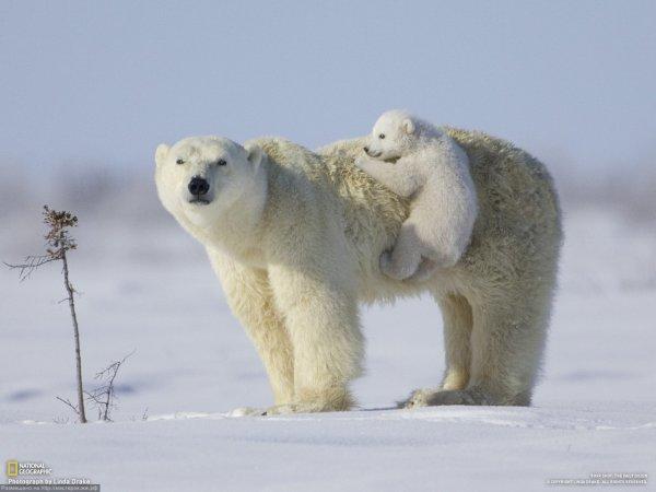 Ученые: К 2050 году с Земли могут исчезнуть более 30% белых медведей