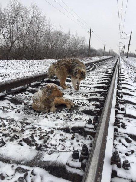 """Фото верного пса, охранявшего раненную """"подругу"""" на рельсах, взорвало Сеть"""