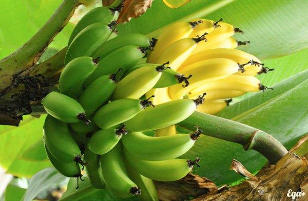 Ученые: Бананы способны бороться с вирусными заболеваниями