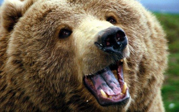 Ученые: Численность бурого медведя увеличилась в два раза за последние несколько лет