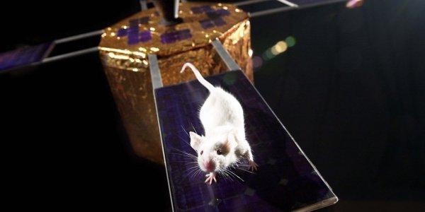 Учёные из России и США вместе заморозят мышей в космосе