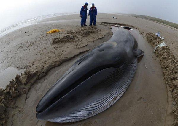 Ученые: Выбрасывание на берег мертвых китов случается из-за магнитных бурь