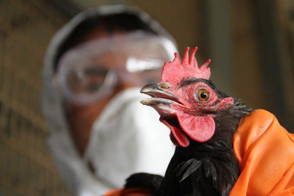В Китае человек снова заразился вирусом птичьего гриппа