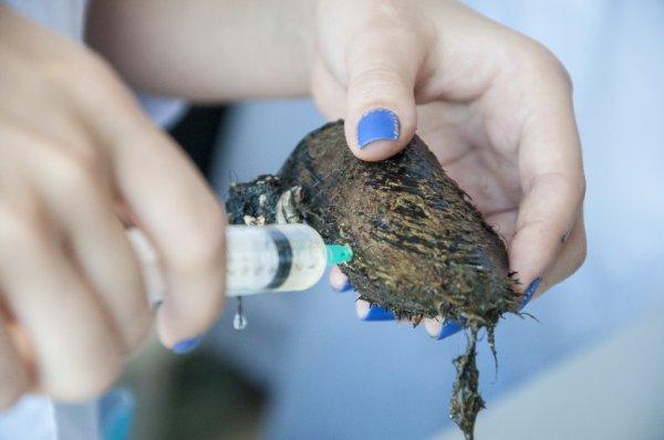 На Дальнем Востоке обнаружили моллюска, способного убивать раковые клетки
