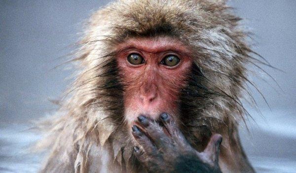 Ученые доказали, что обезьяны способны узнавать себя в зеркале