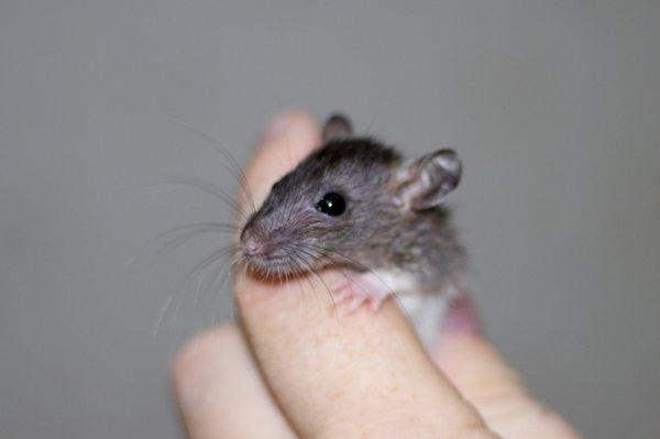 Пользователи социальных сетей стали на защиту выгнанной из дома крысы