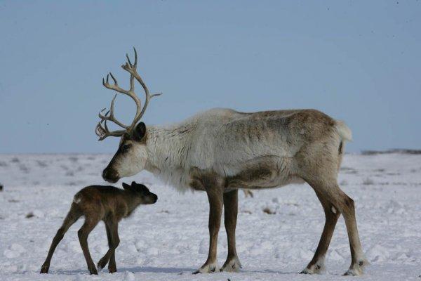 Ученые: Глобальное потепление отрицательно сказывается на животных Арктики