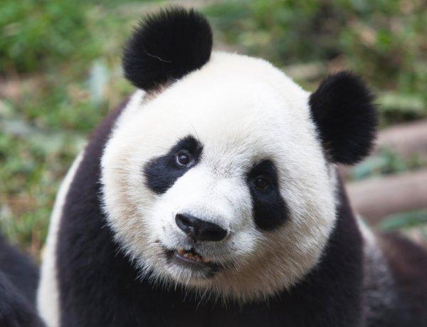 В китайский зоопарк вернулась панда Бао-Бао