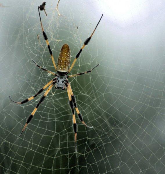 Учёные выяснили, что пауки способны выращивать кожу