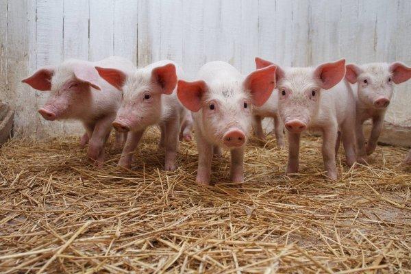 Ученые cоздали свиней устойчивых к репродуктивно-респираторному синдрому