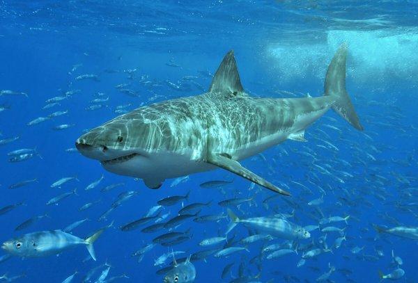 Специалисты: Акулы были предками человека