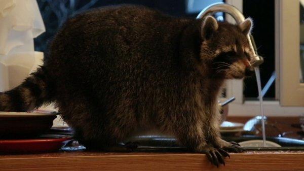 В Казахстане семья обнаружила у себя на кухне толстого енота за мытьём посуды