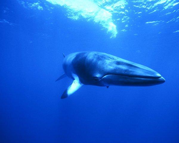 Ученным впервые удалось снять на видео редкого кита