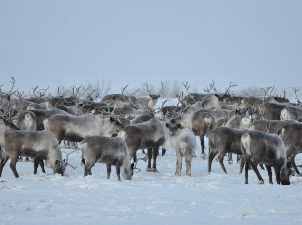 Ученые исследуют наиболее традиционные маршруты оленеводства в тундре