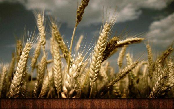 Новосибирские учёные разработали приложение для смартфона, определяющее урожайность зерна