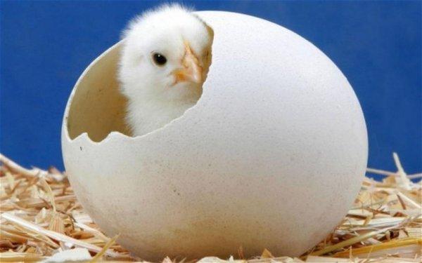 Ученые: Яйцо все-таки появилось позже курицы